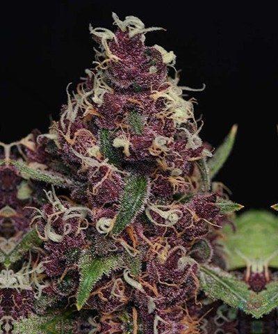 Double Purple Doja