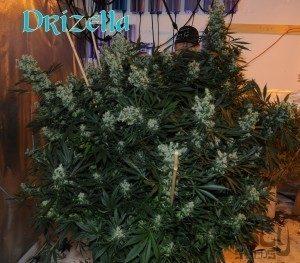 Drizella