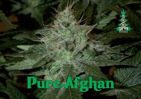 Pure Afghan