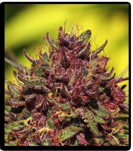 Purple Panty Dropper